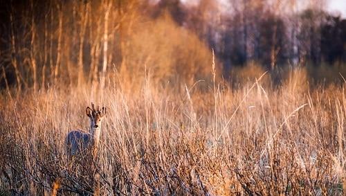 cerf camouflé dans l'herbe sèche