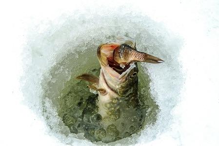brochet sous la glace
