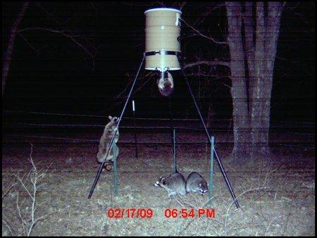 ratons laveurs sur mangeoire à cerfs